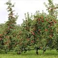 Photos: 信州リンゴ
