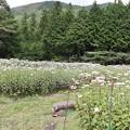アサギマダラ蝶の好むフジバカマ花壇