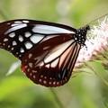 フジバカマに停まるアサギマダラ蝶