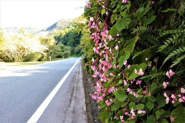 県道脇に咲き誇る秋海棠