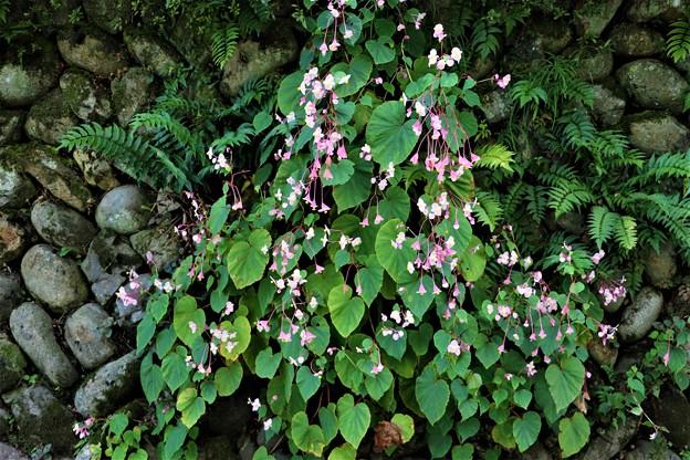 石垣で咲く秋海棠