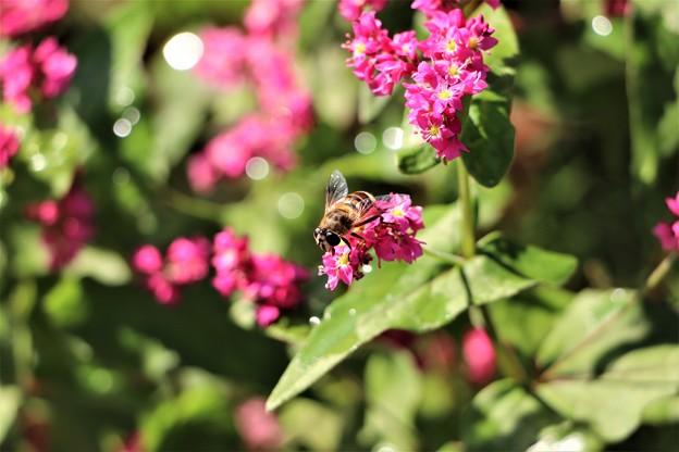 赤そばに蜂