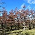 黄葉のカラマツ林