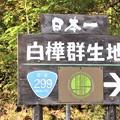 日本一白樺群生地