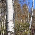 シラカバの白い木肌