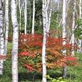 白樺と紅葉