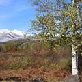 白樺と乗鞍岳