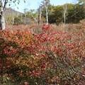 レンゲツツジ紅葉