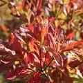 紅葉のレンゲツツジ