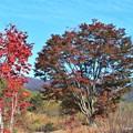 一本楓と紅葉