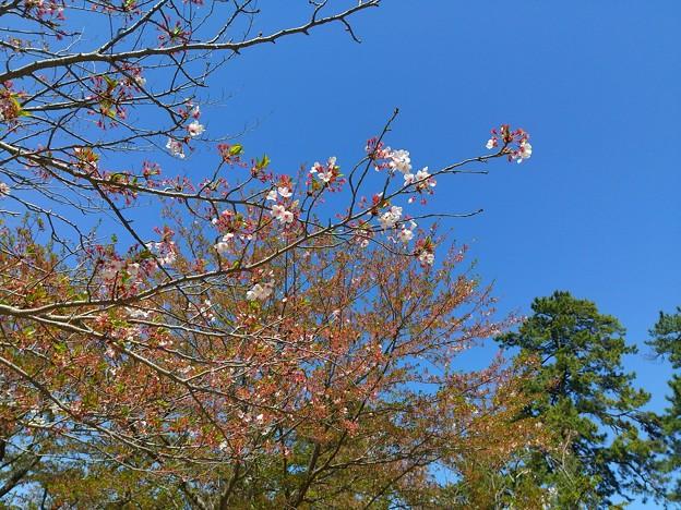 桜2021/04/11