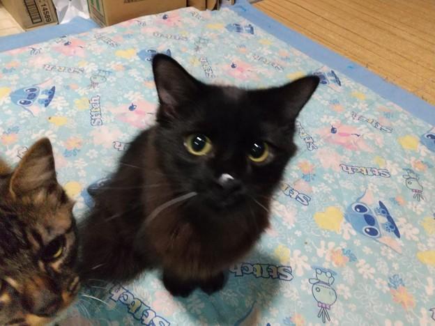ヨーグルト盗み食い猫