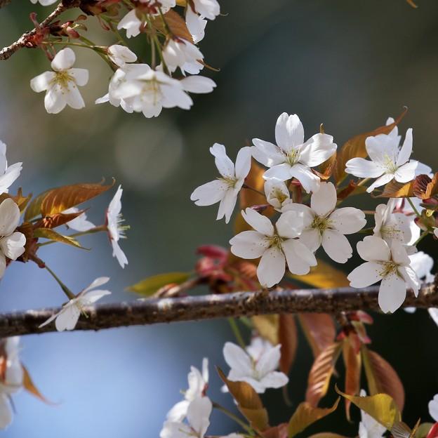 桜の記憶2