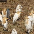Photos: アマサギ