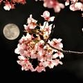 春のお月見