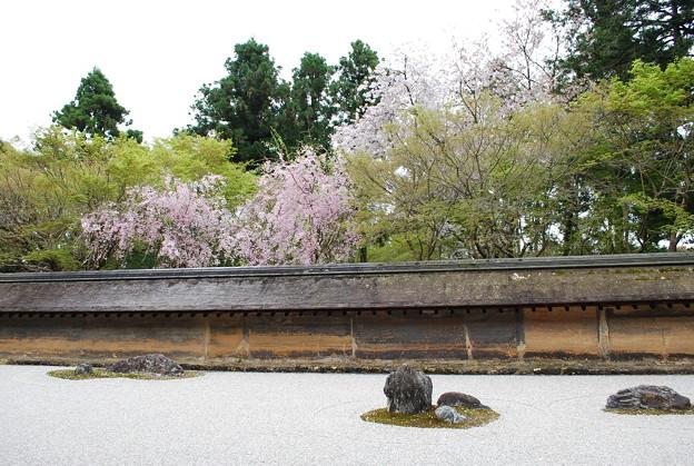龍安寺 石庭 枝垂れ桜