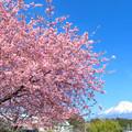 如月の満開桜。