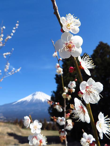 白梅喜び伸び咲く。
