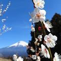 Photos: 白梅喜び伸び咲く。
