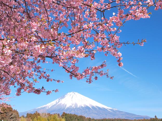 春に呼ばれる桜色。