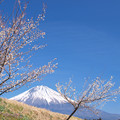Photos: 田んぼの土手の白梅の木。