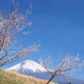 田んぼの土手の白梅の木。