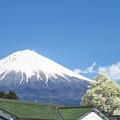 緑の瓦と密に咲いてる白木蓮。