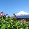 Photos: 花大根と青空。