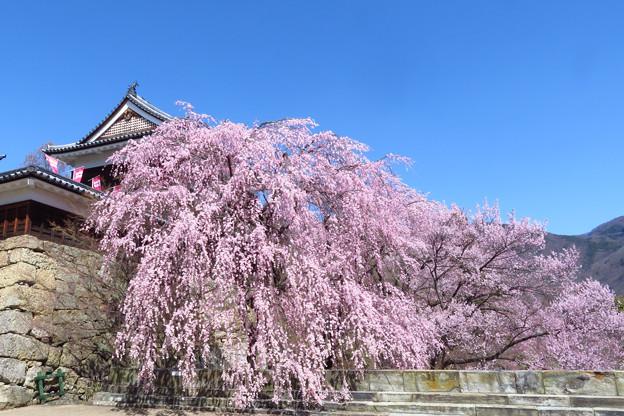 早垂れる桜かな。