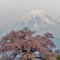 わに塚の桜、釣られている?