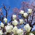 木蓮、紅梅、垂れ桜。
