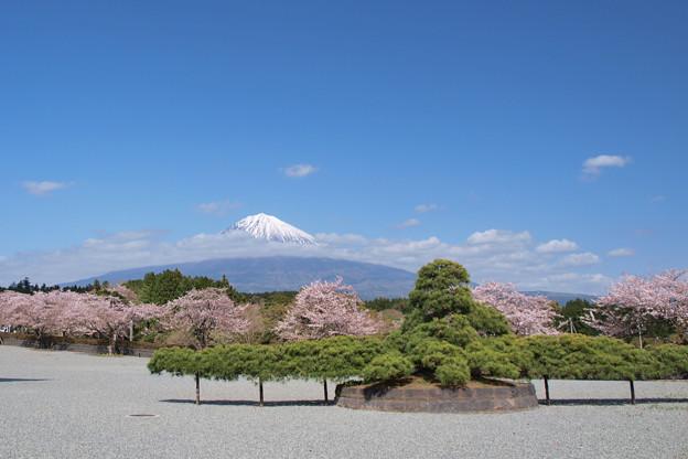オクトパスな松と桜。