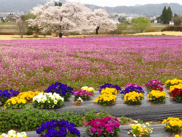 花畑の桜二本。