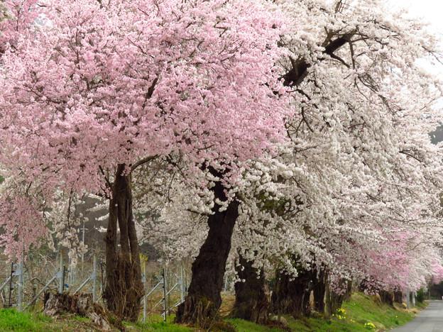 紅白桜並木。