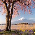 若き垂れ桜に朝日が当たり。