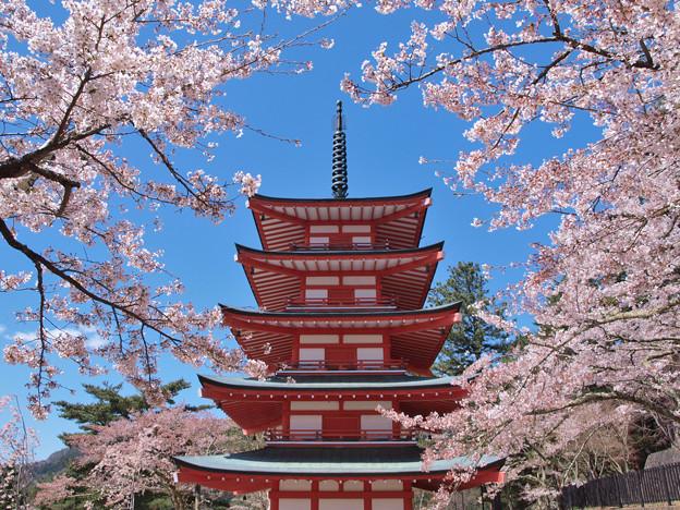 忠霊塔を桜が囲んで。
