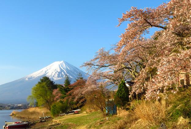 湖畔の桜、朝日に映える。