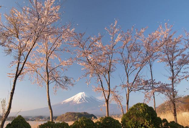 スマートに桜の木並ぶ。