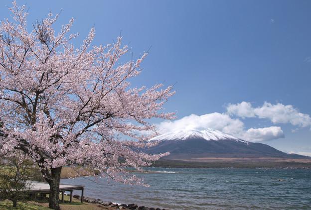 山中湖にも桜来た~。