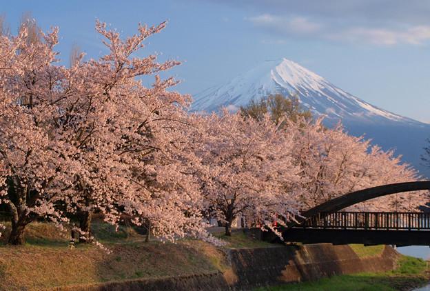 西日に桜映え。