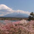 精進湖の桜の賑わい。