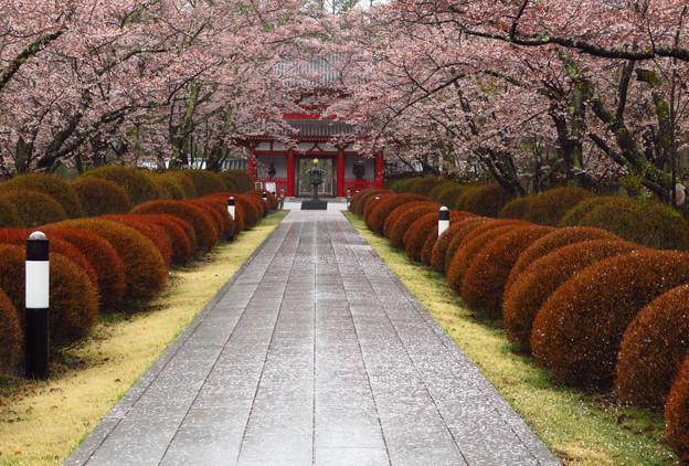 山門への桜の並木。