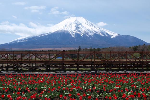 チューリップ畑赤く飾る。