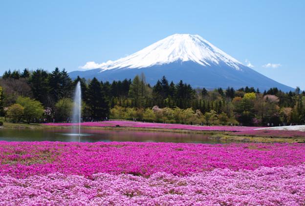 噴水上がる、芝桜まつり。