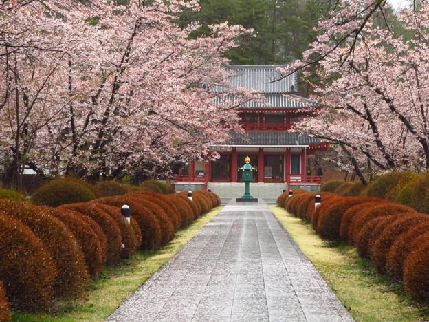 本堂への桜の並木。