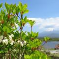 ドウダンツツジ咲き始める。