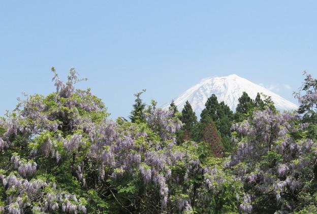 山なりの藤と富士の山。