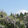 Photos: 山なりの藤と富士の山。