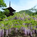 三重塔飾る藤の花。