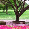 八重桜風に吹かれて散りぬるを。